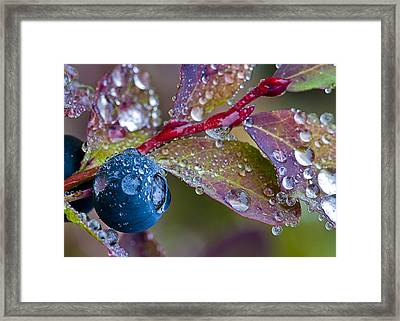 autumn Huckleberry berry and leaves macro in autumn Framed Print by Ed Book
