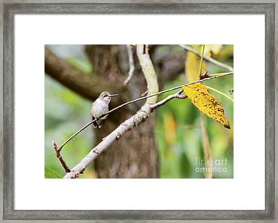 Autumn Hummingbird Framed Print