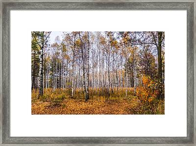 Autumn In The Birch Grove Framed Print