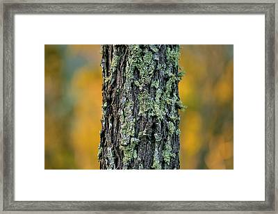 Autumn Ironbark Framed Print by Az Jackson