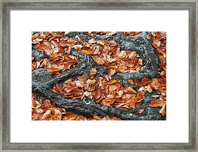 Autumn Leaves Between Tree Roots Framed Print by Artur Bogacki