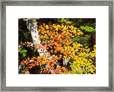 Autumn Maple Framed Print