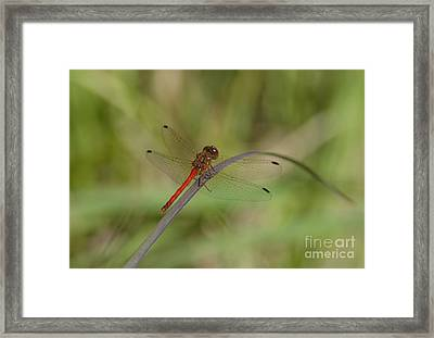 Framed Print featuring the photograph Autumn Meadowhawk by Randy Bodkins