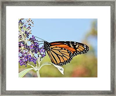 Framed Print featuring the photograph Autumn Monarch Butterfly 2016 by Lara Ellis