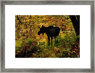 Autumn Moose Framed Print