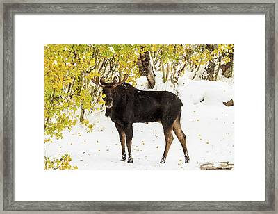 Autumn Moose Framed Print by TL Mair