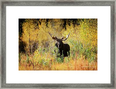 Autumn Moose Framed Print by Wildlife Fine Art