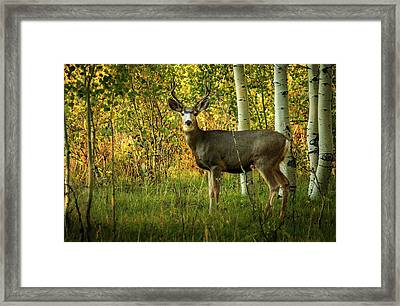Autumn Mule Deer Framed Print