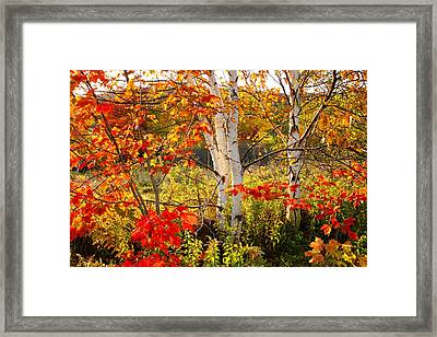 Autumn Scene With Red Leaves And White Birch Trees, Nova Scotia Framed Print
