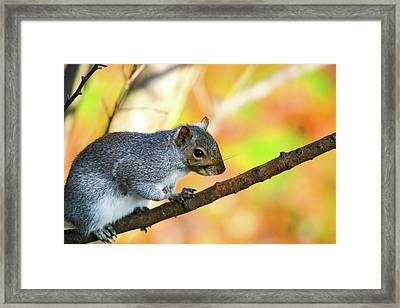 Framed Print featuring the photograph Autumn Squirrel by Karol Livote