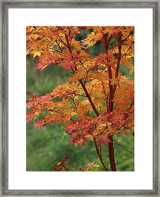 Autumn Sun On Coral Bark Maple Tree Leaves Framed Print
