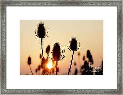 Framed Print featuring the photograph Autumn Sunrise Teasels by Tim Gainey