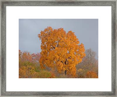 Autumn Tree Framed Print by Donald C Morgan