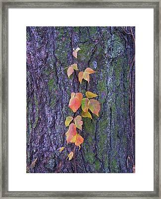 Autumn Vine Leaves On Tree Trunk    Indiana Framed Print