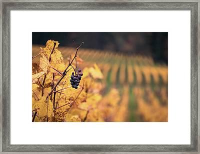 Autumn Vineyard Framed Print by Jason Clarke
