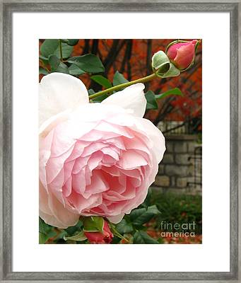 Autumn Walk Roses Framed Print