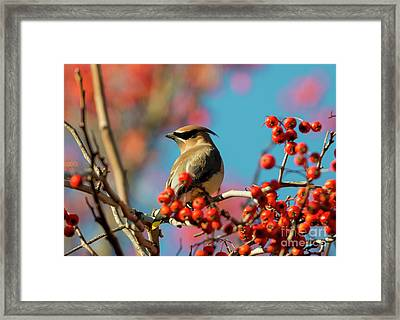 Autumn Waxwing Framed Print by Mike Dawson
