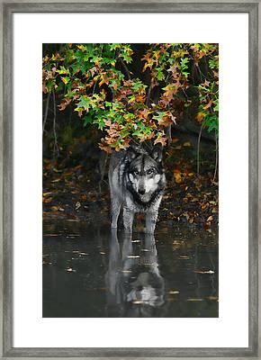 Framed Print featuring the photograph Autumn Wolf by Shari Jardina