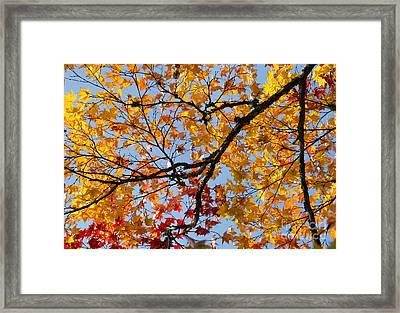 Autumnal Acer Palmatum Matsumurae Framed Print by Tim Gainey