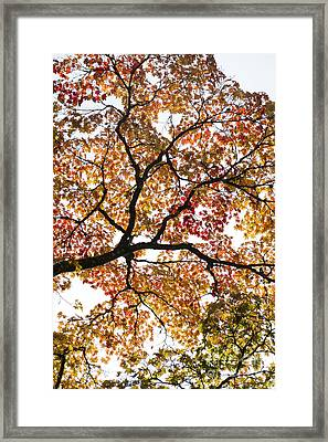 Autumnal Acer Palmatum Framed Print by Tim Gainey