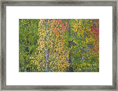 Autumnal Aspens Framed Print by Tim Gainey