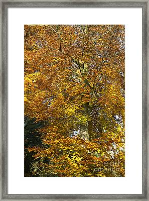 Autumnal Beech Tree Framed Print by Tim Gainey