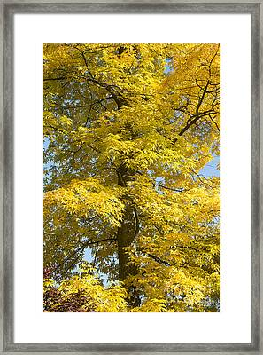 Autumnal Bitternut Hickory Tree Framed Print by Tim Gainey