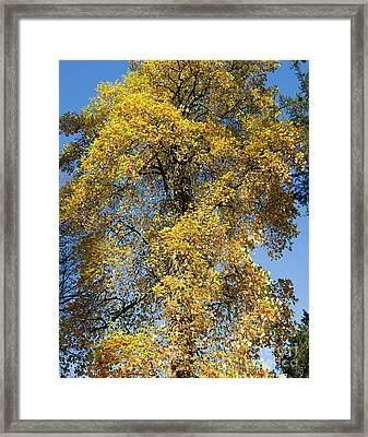 Autumnal Tulip Tree Framed Print by Tim Gainey