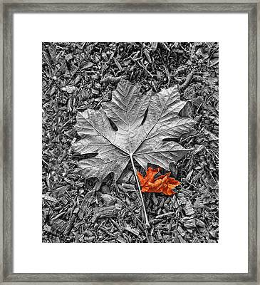 Autumn's Maple Leaf Selective Color Framed Print by Jennie Marie Schell