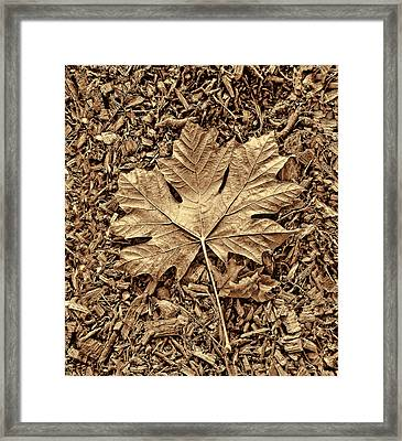 Autumn's Maple Leaf Sepia  Framed Print by Jennie Marie Schell
