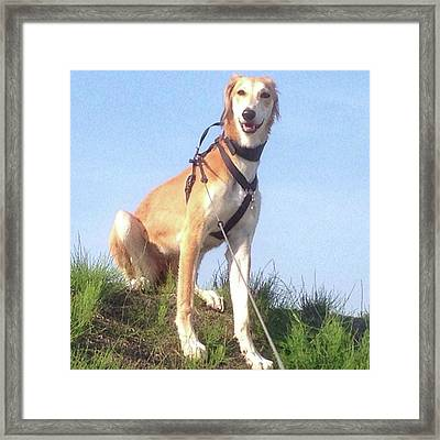 Ava-grace, Princess Of Arabia  #saluki Framed Print by John Edwards
