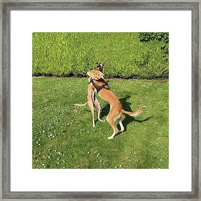Ava The Saluki And Finly The Lurcher Framed Print