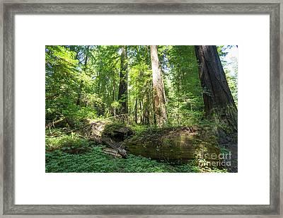 Avenue Of The Giants Redwood Trees California Dsc5475 Framed Print
