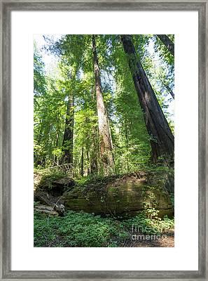 Avenue Of The Giants Redwood Trees California Dsc5476 Framed Print