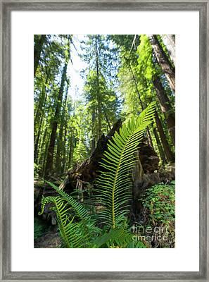 Avenue Of The Giants Redwood Trees California Dsc5532 Framed Print