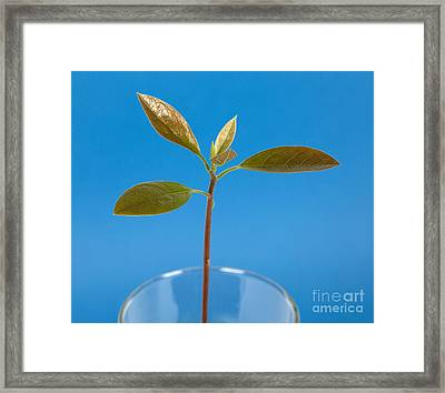Avocado Seedling Framed Print by Ted Kinsman