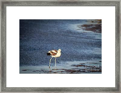 Avocet On The Shore Framed Print