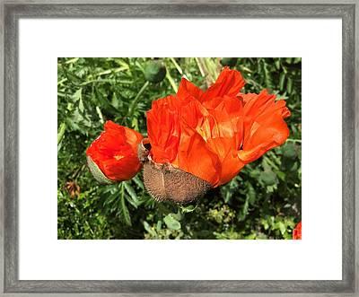 Awakening Poppy Framed Print