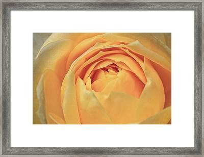 Awakening Yellow Bare Root Rose Framed Print by Ryan Kelly