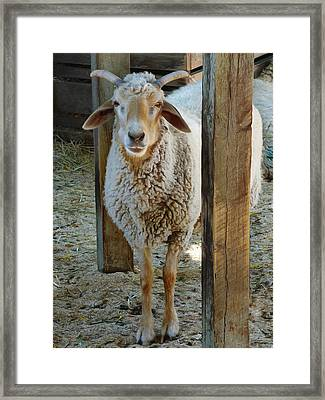 Awassi Sheep Framed Print by Steve Taylor
