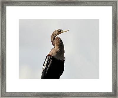 Awesome Anhinga Framed Print by Al Powell Photography USA