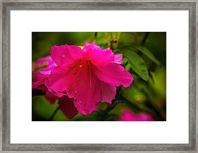 Azalea Blossom - Floral Framed Print by Barry Jones