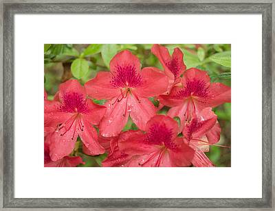 Framed Print featuring the photograph Azalea Blossoms by Linda Geiger