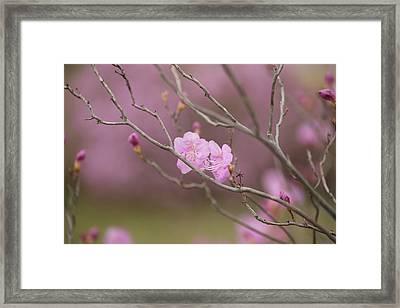 azalea III Framed Print by Hyuntae Kim