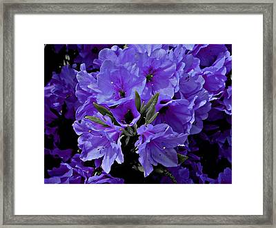 Azalea Pretty Posh Purple Framed Print by Trent Jackson
