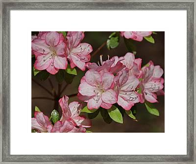 Framed Print featuring the photograph Azalea by Sandy Keeton