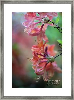Azaleas Cluster Of Flowers Framed Print