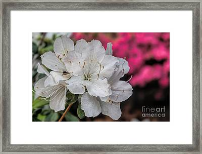 Framed Print featuring the photograph Azaleas In Turtle Creek by Diana Mary Sharpton