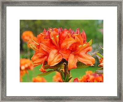 Azaleas Orange Red Azalea Flowers 11 Botanical Giclee Art Baslee Troutman Framed Print by Baslee Troutman