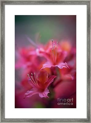 Azaleas Soft Flowers Details Framed Print